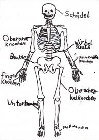 Knochen Im Körper