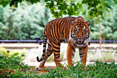 Besonderheiten Des Tigers