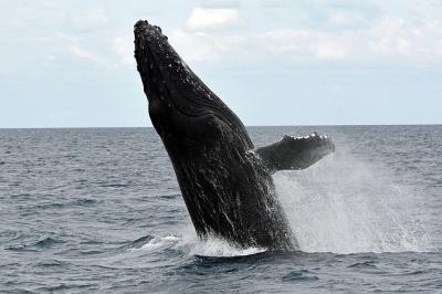 humpback-whale-1126290_640.jpg