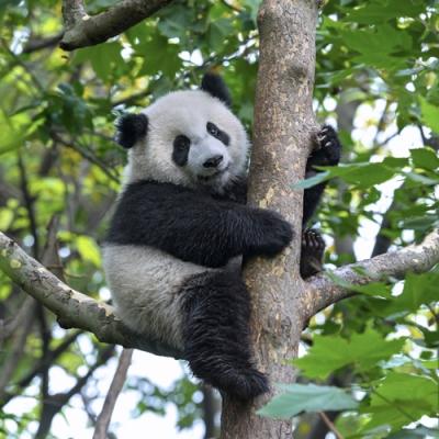 panda-auf-dem-baum_is_89001395_xlarge.jpg