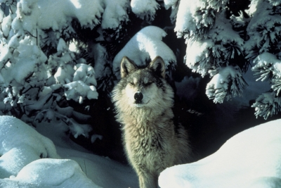 canis_lupus_standing_in_snow.jpg