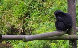 Bild: siamang-affe-zoo-dortmund.jpg