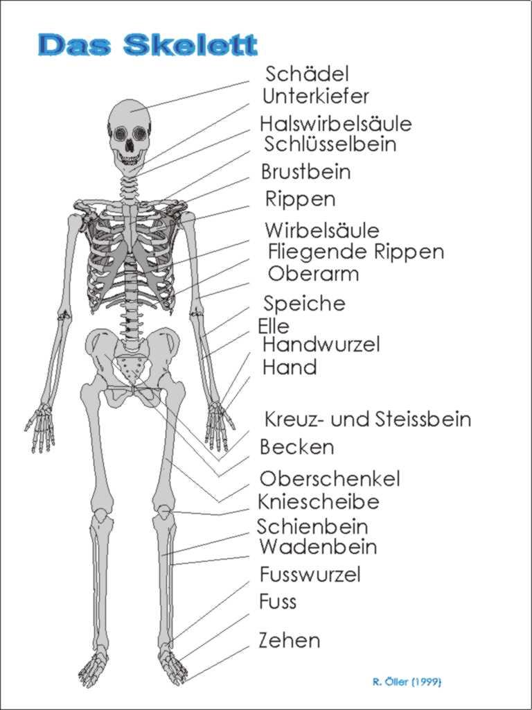 Fein Skelett System Umriss Ideen - Menschliche Anatomie Bilder ...