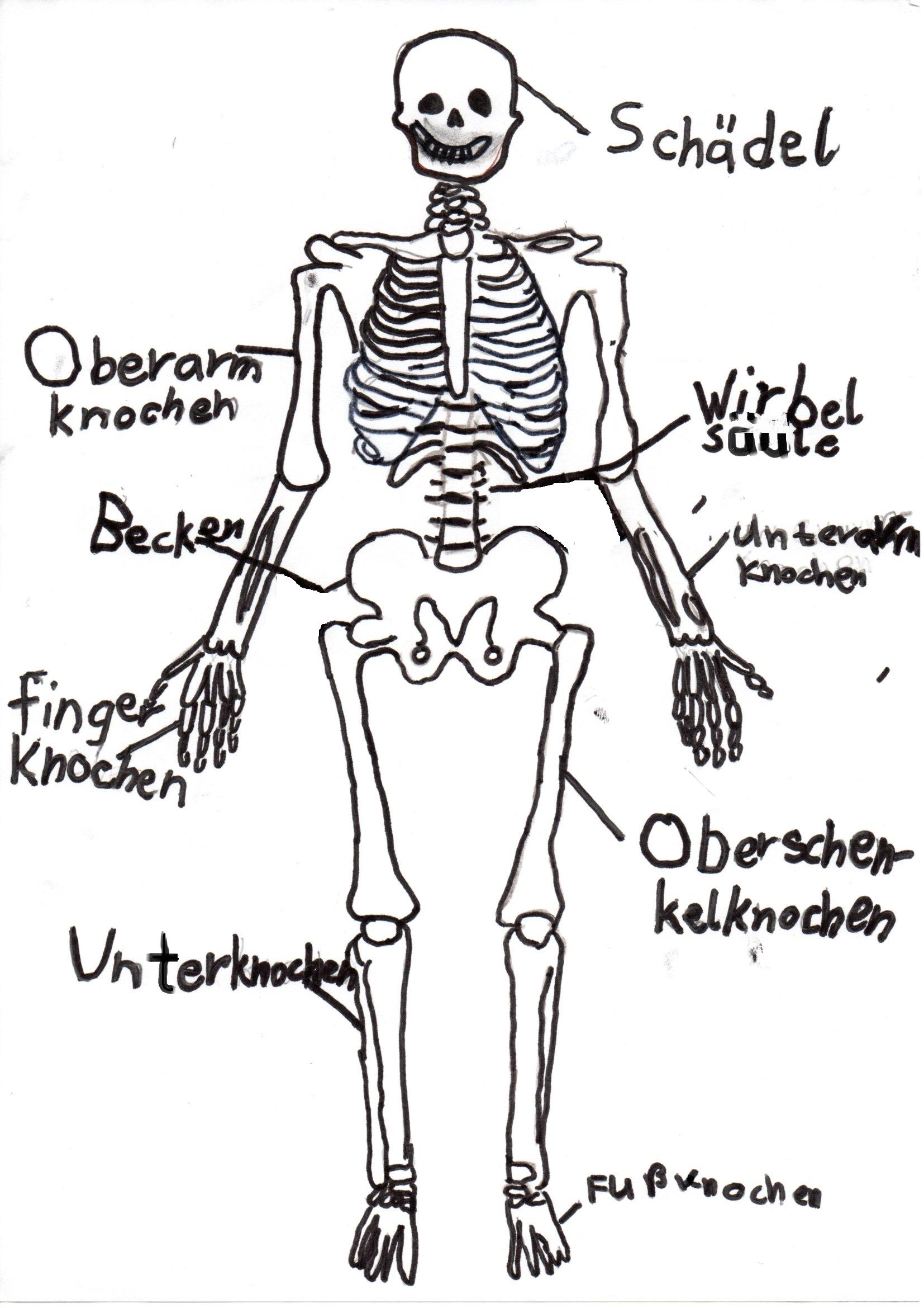 Beste Skelett Bild Von Knochen Bilder - Menschliche Anatomie Bilder ...