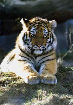 Grokatzen Tiger primolode